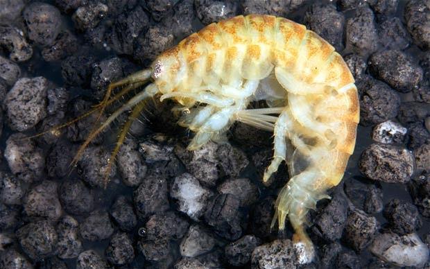 Demon shrimp [ref: bcya.org.uk]