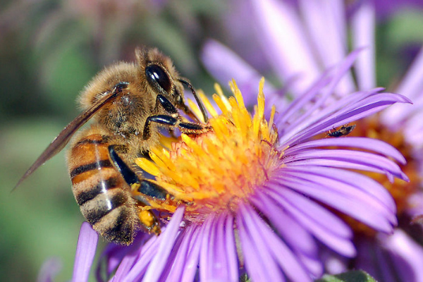 A European honey bee extracts nectar from an Aster flower using its proboscis [John Severns]