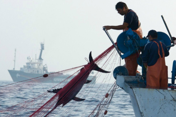 A swordfish caught in an illegal driftnet used by the Luna Rossa shipping vessel. [Gavin Parsons/Greenpeace].