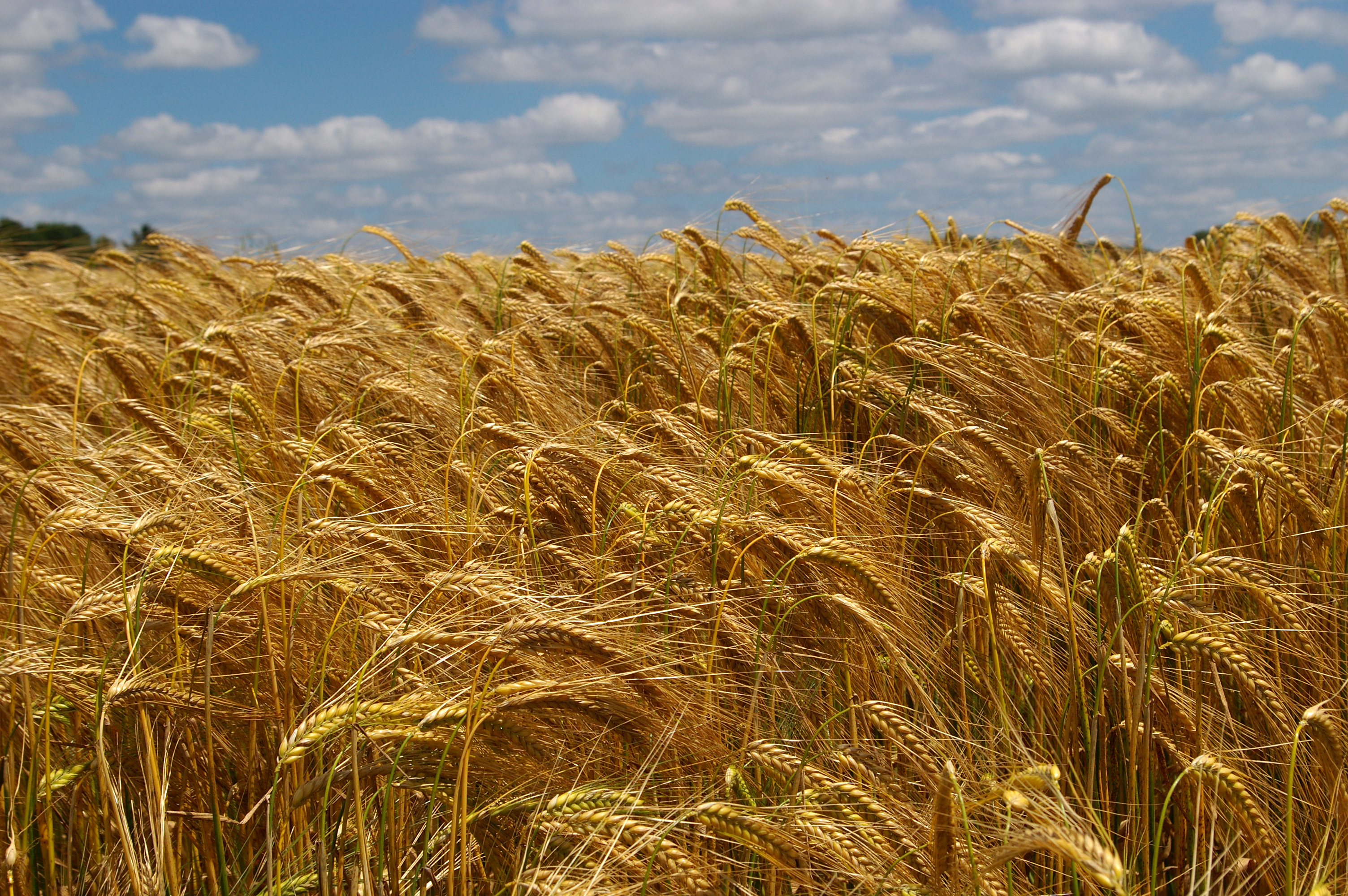 Bearded wheat in Thésée, Loir-et-Cher, in France. [Sybarite48/Fotopedia].